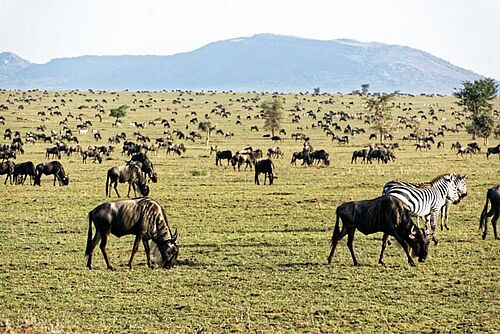 Gnu Migration in der Serengeti in Tansania