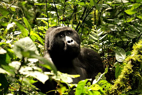 Gorilla im Bwindi Impenetrable Nationalpark