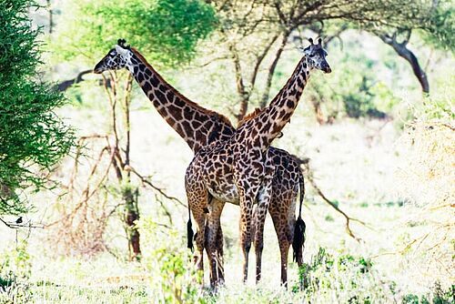 Giraffen im Tarangire Nationalpark in Tansania