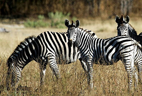 Botswana, Best Value, Safari, Chobe, Chobe Nationalpark, Zebras