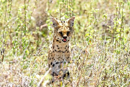 Serval in der Serengeti in Tansania